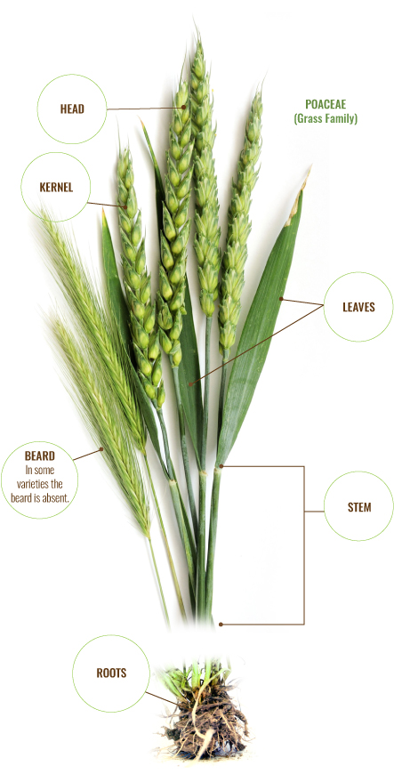 learn about wheat the king milling company